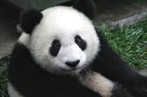 Foto Gambar Panda lucu 46