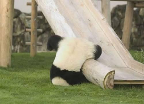 Foto Gambar Panda lucu 47