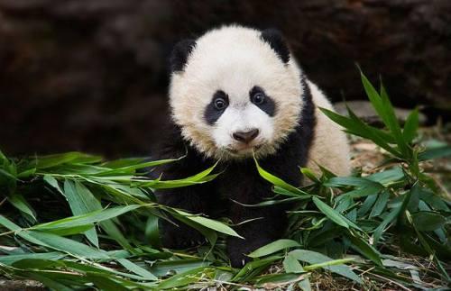 Foto Gambar Panda lucu 48