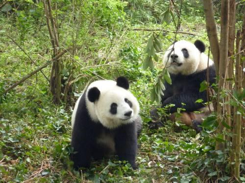 Foto Gambar Panda lucu 49