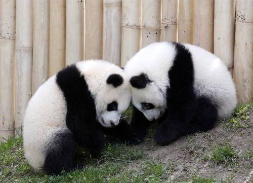Foto Gambar Panda lucu 50