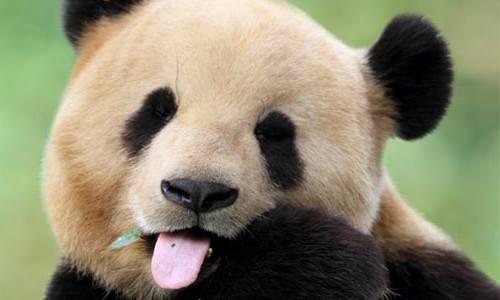 Foto Gambar Panda lucu 51