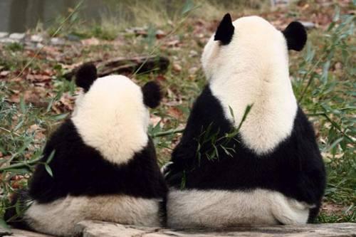 Foto Gambar Panda lucu 52