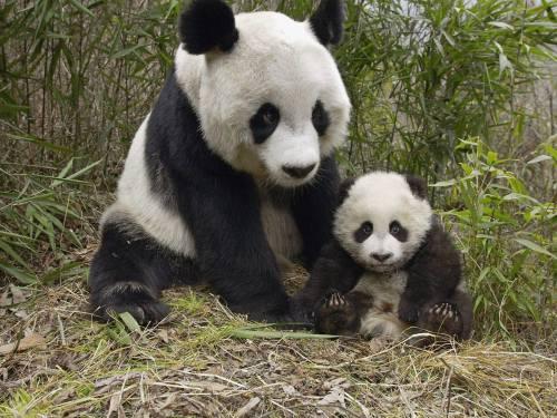 Foto Gambar Panda lucu 6