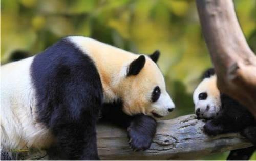 Foto Gambar Panda lucu 7