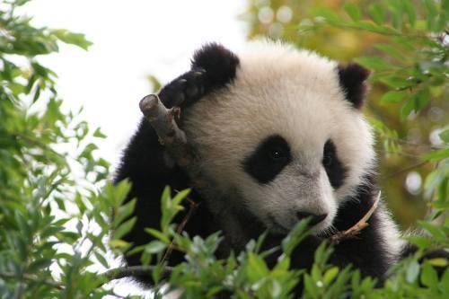Foto Gambar Panda lucu 8