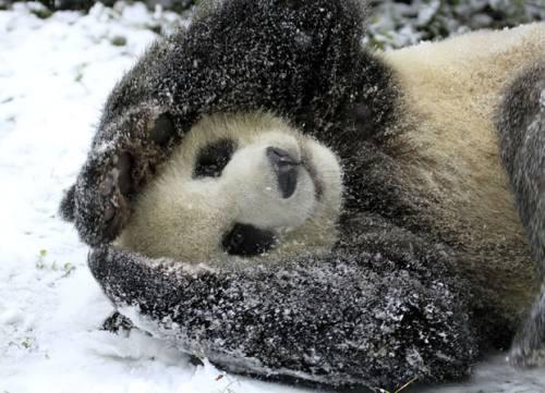 Foto Gambar Panda lucu 9