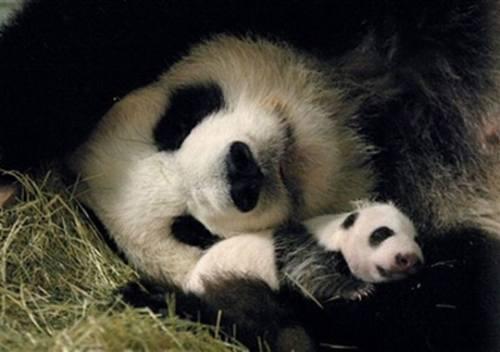 Foto Gambar Panda lucu Bersama Bayi panda