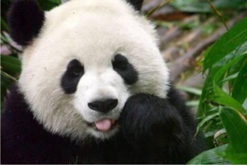 Foto Gambar Panda lucu
