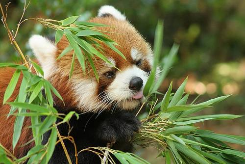 Foto Gambar Panda Merah sedang Makan Bambu