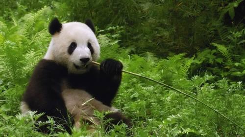 Foto Gambar Panda sedang Makan yang Lucu