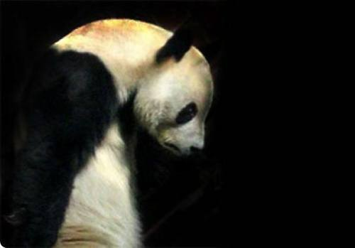 Foto Gambar Panda sedang Sedih