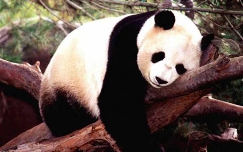 Foto Gambar Panda Tidur yang lucu