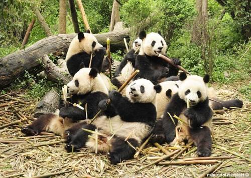Foto Gambar Sekelompok Panda lucu