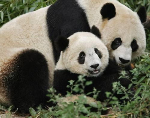 Foto Panda lucu Bersama Bayi Panda