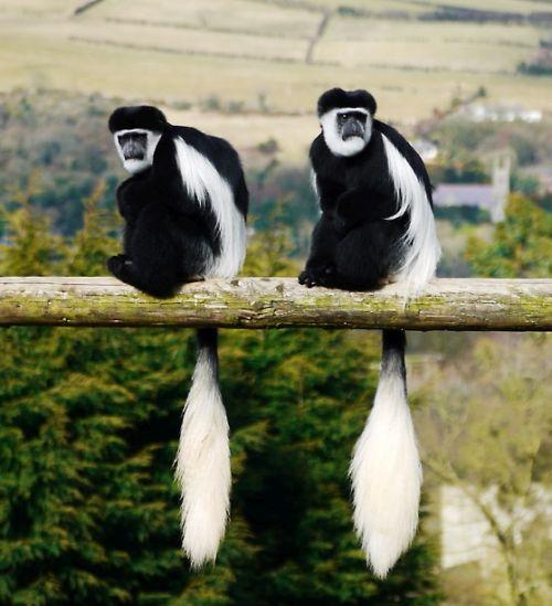 monyet colobus hitam