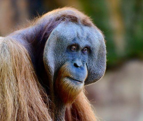 orangutan think