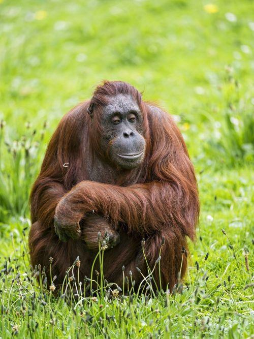 orangutan thinking