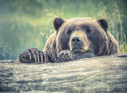 Beruang lucu bear