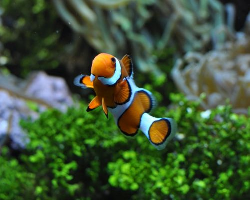 Ikan Badut Nemo