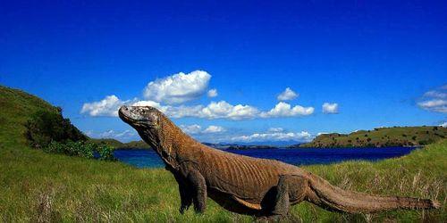 Pulau Komodo Dragon