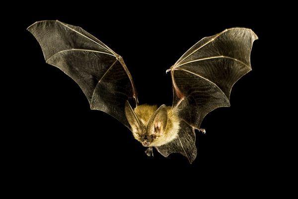 Bat Vampire kelelawar