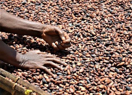 cocoa seed biji coklat