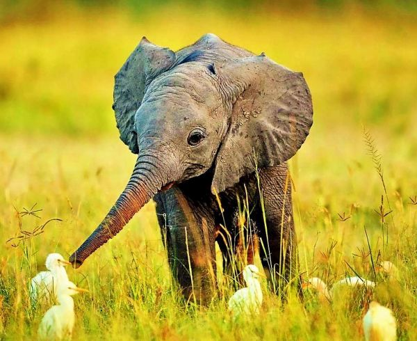 Elephant cute gajah
