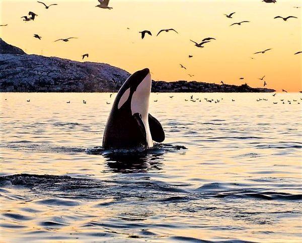 Mesmerising Orca
