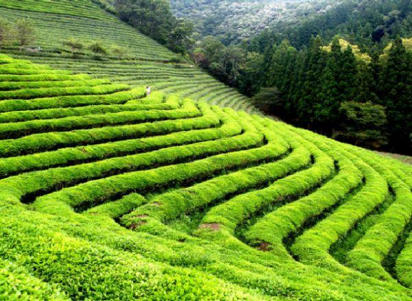 tea farm kebun teh