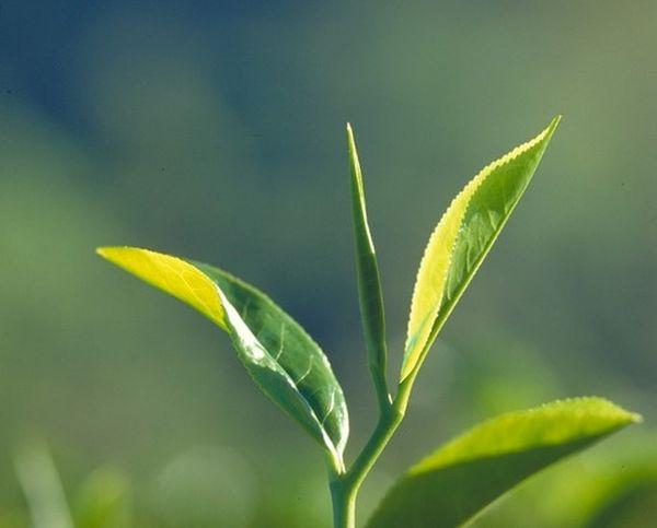 Tea leaves daun teh